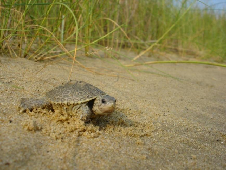 Photo Credit: Leah Graham.  Terrapin Hatchling on the Poplar Island Environmental Restoration Project, Talbot County, MD