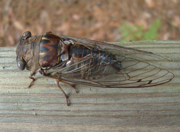 One type of cicada