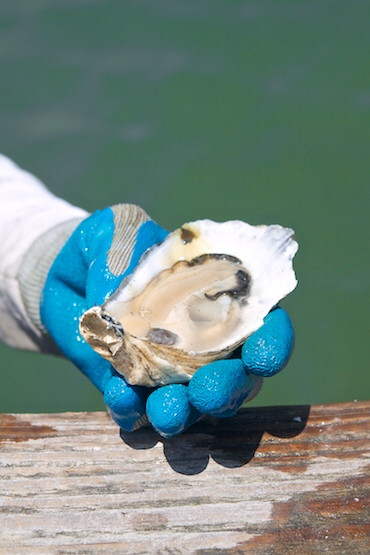 Someday they could grow up to be as gorgeous & delicious as this Pleasure House Oyster.