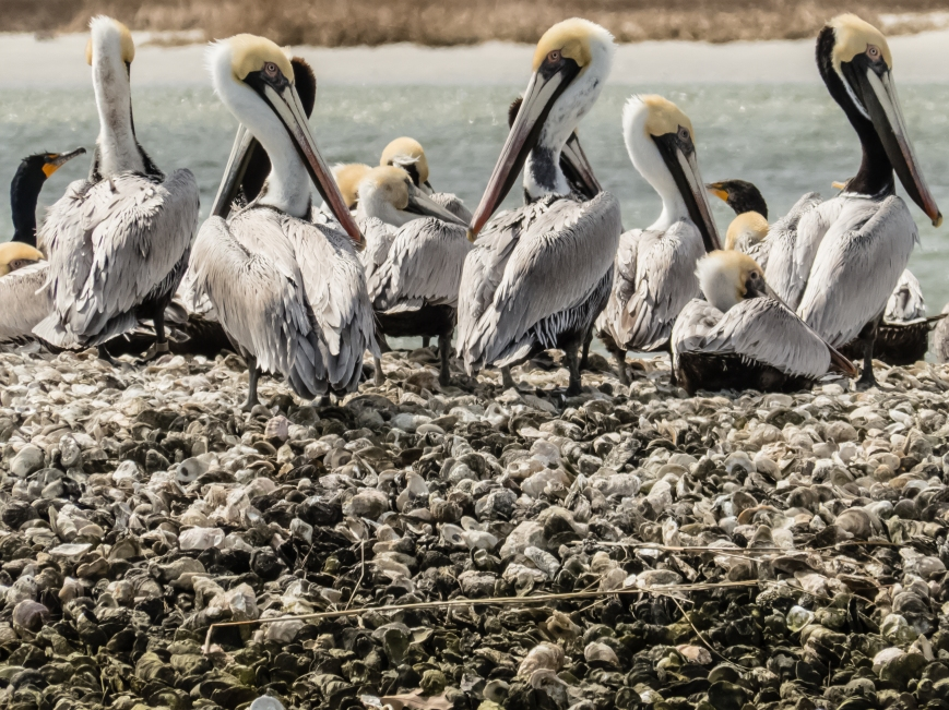 Pelicans on Athey Oyster Reef