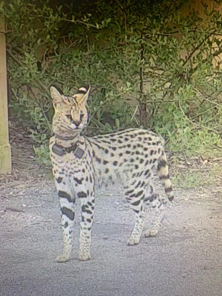 Animal Control looking for exotic cat spotted near Shore
